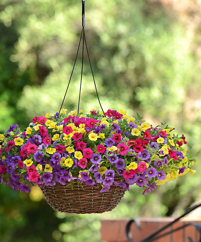 Calibrachoa 'Kabloom', směs | Semi di fiori, Piante da balcone,  Giardinaggio in piccoli contenitori