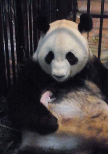パンダ:シンシンが出産…上野動物園、24年ぶり4例目