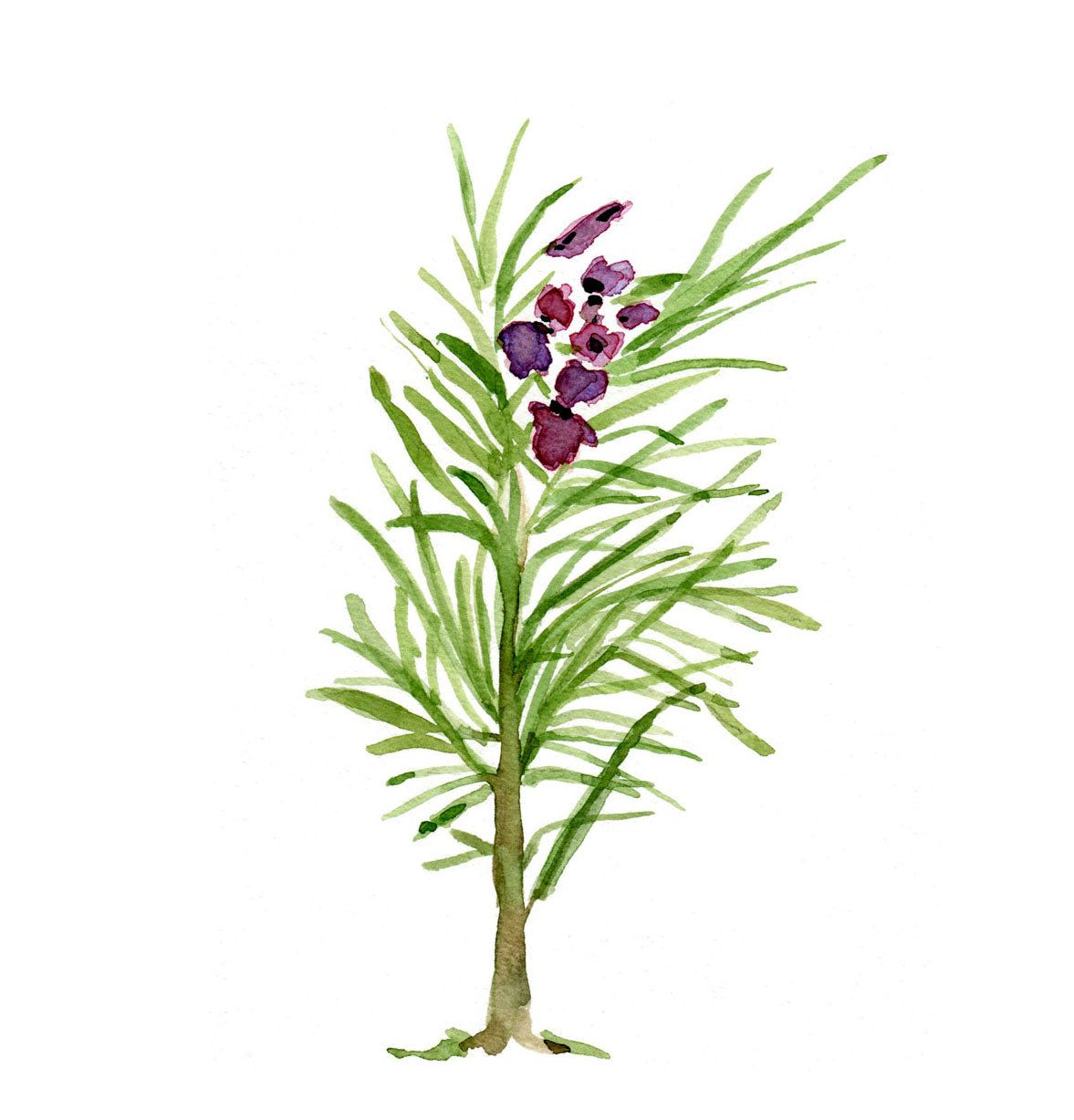 Rosemary original watercolor painting of Rosemary branch, green and purple , Plants, Botanical herb,, cottage chic, kitchen decor. $42.00, via Etsy.