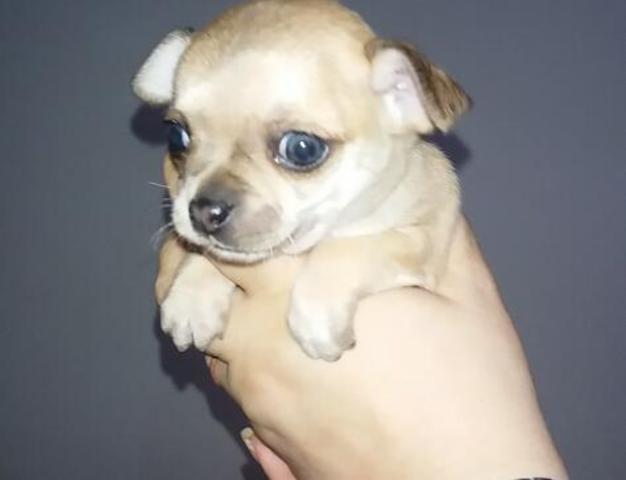 MIL Oportunidad chihuahua hembra mini toy
