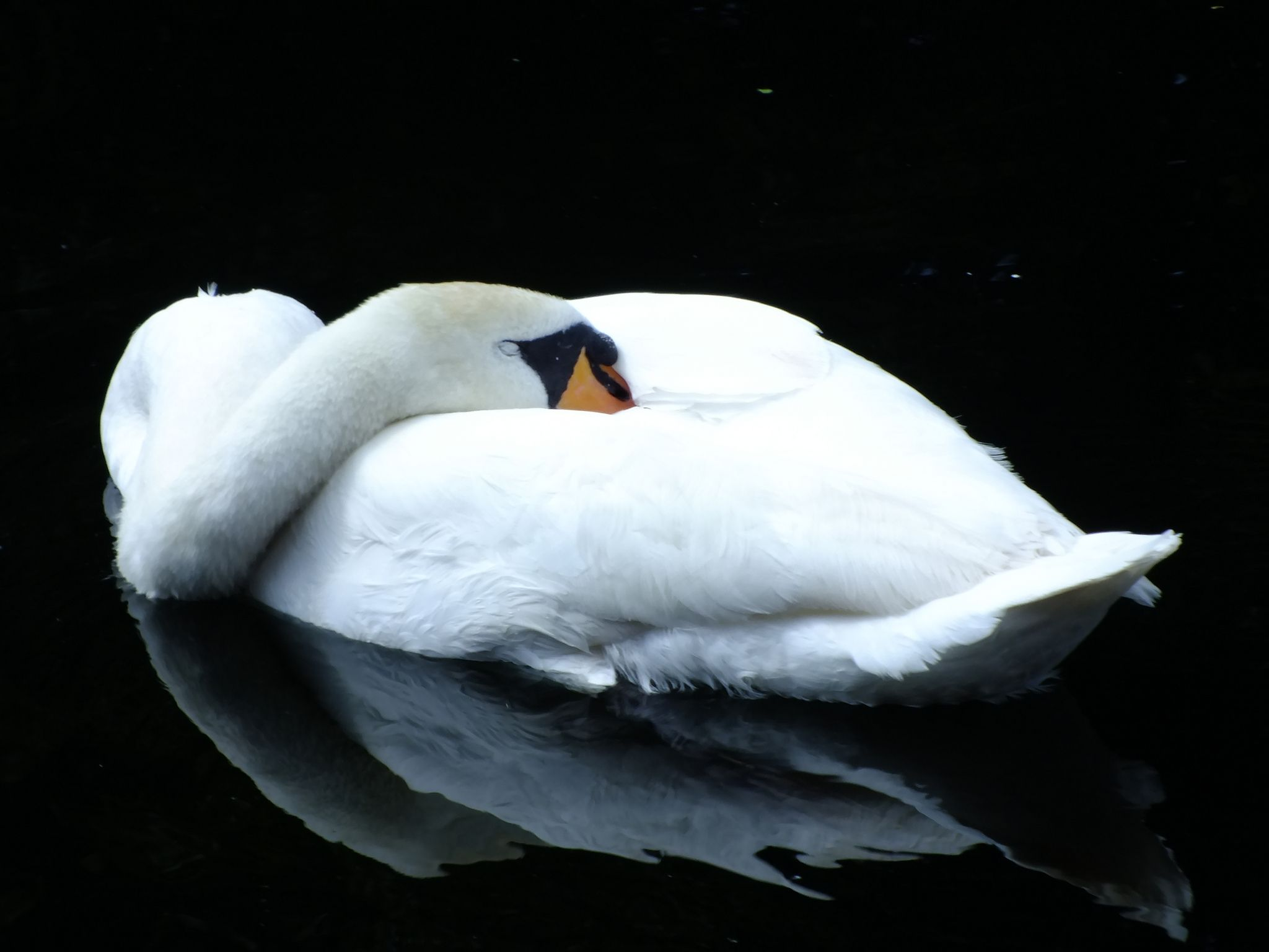 The Sleeping Swans >> Sleeping Swan 50 365 Animal Photos Swan Mute Swan Animals