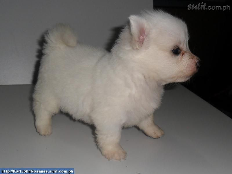 A Mixed Chihuahua Japanese Spitz Both Of My Fave Dog Breeds