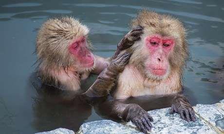 Monkeys in hot springs, Hokkaido (Shutterstock)