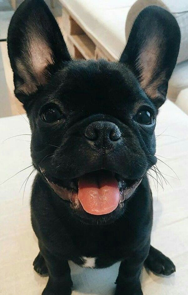 French Bulldog Puppy With The Biggest Ears Ever Bulldog