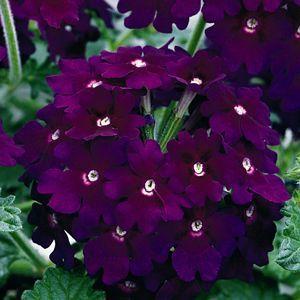 Buy Verbena Lanai Deep Purple Annual Plants Online Garden