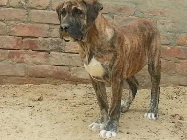 Bully Kutta Or Pakistani Sindhi Alangu Mastiff Mastiff Dog