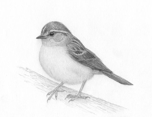 Bird Pencil Drawing Step By Step