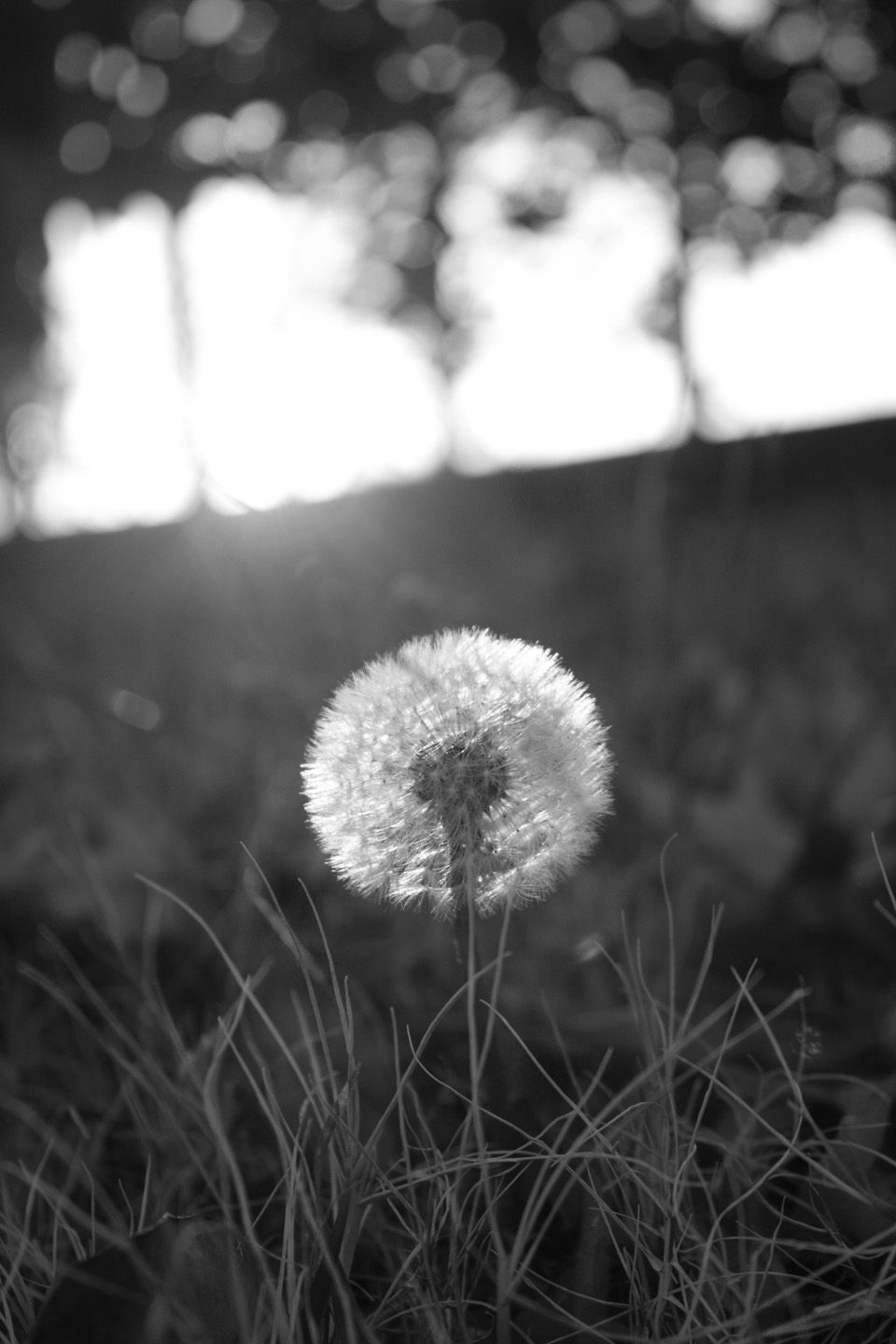 Exploring the world black and white photo assignments blow flowers dandelions weeds nature grass trees foreground pictures