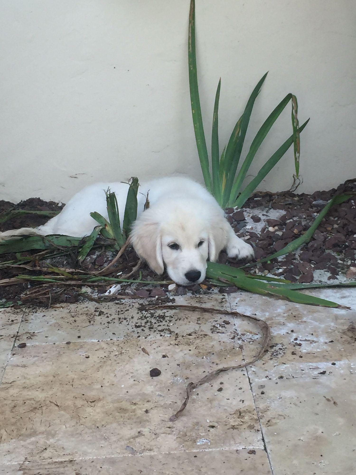 English cream golden retriever Cute animals, Dogs