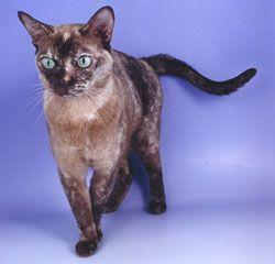 Burmese Tortie Cat Breeder Burmese Cat Cats