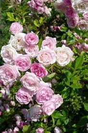 rosier frau eva schubert liane grimpant aux nu es de petites roses dans diff rents tons de rose. Black Bedroom Furniture Sets. Home Design Ideas
