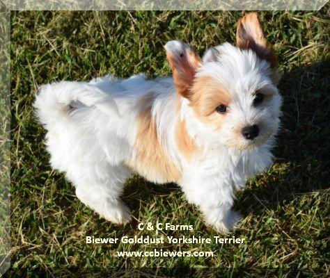 Golddust Biewer Yorkshire Terrier Yorkie Puppies In Windsor Region Ontario Hunde