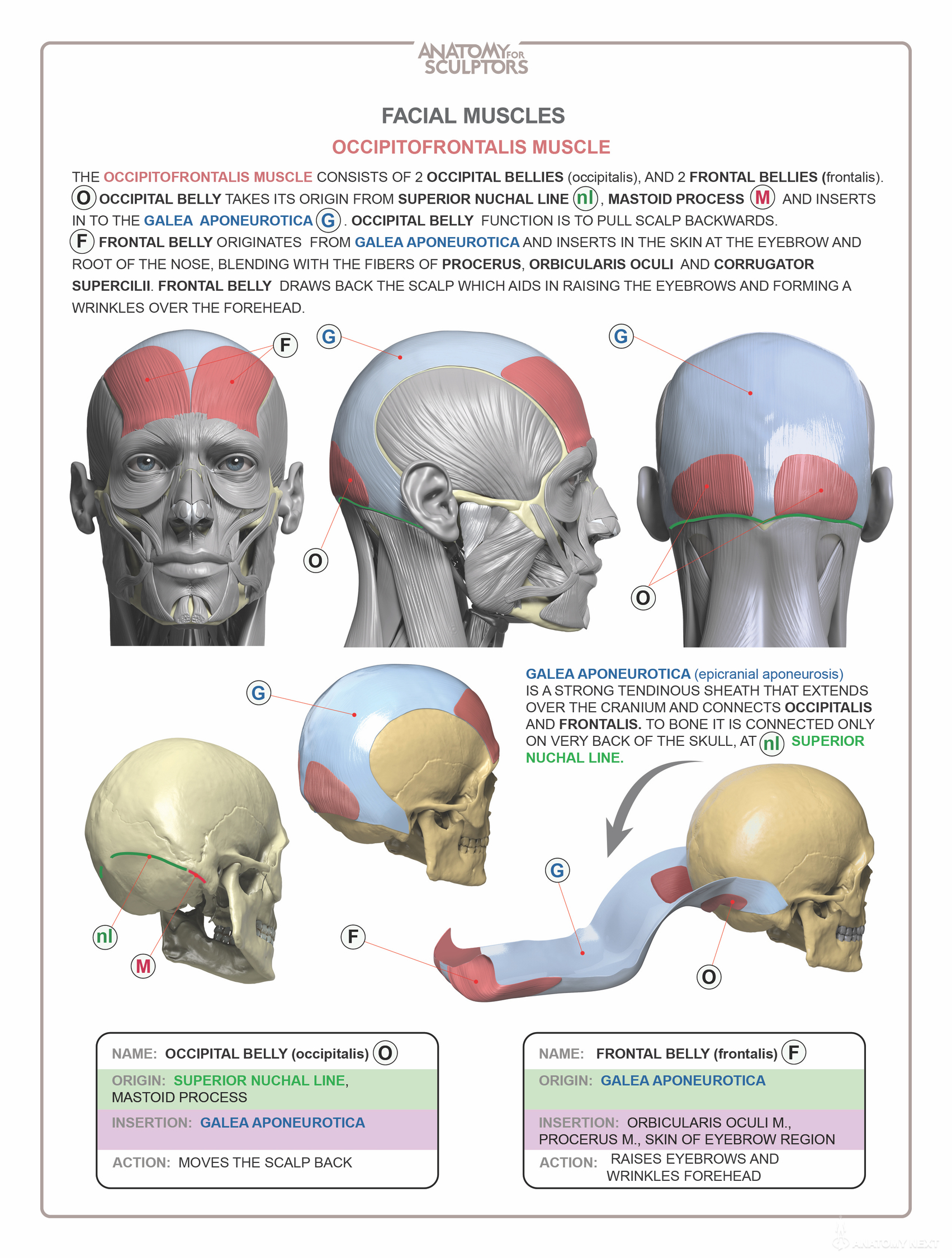 Head & Neck Anatomy book - MUSCLES - Estimated completion of this ...