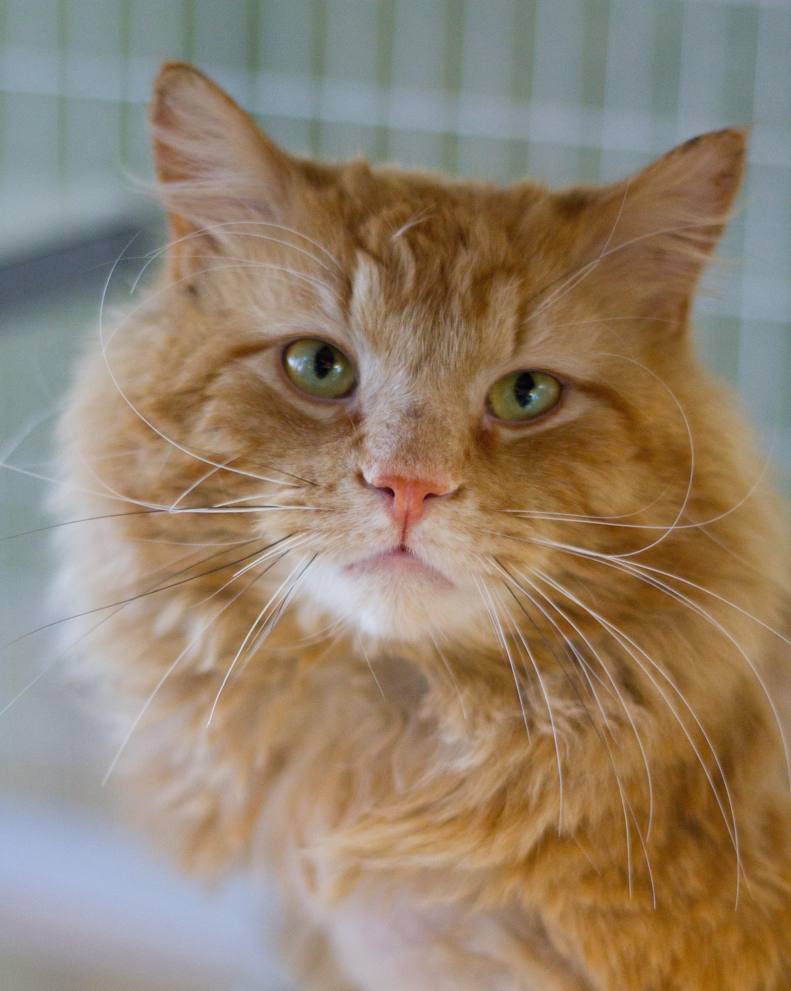 Adopt Neptune on Cat adoption, Tabby cat, Pets