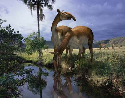 the macrauchenia was an ancient relative to the camel living in south america until about