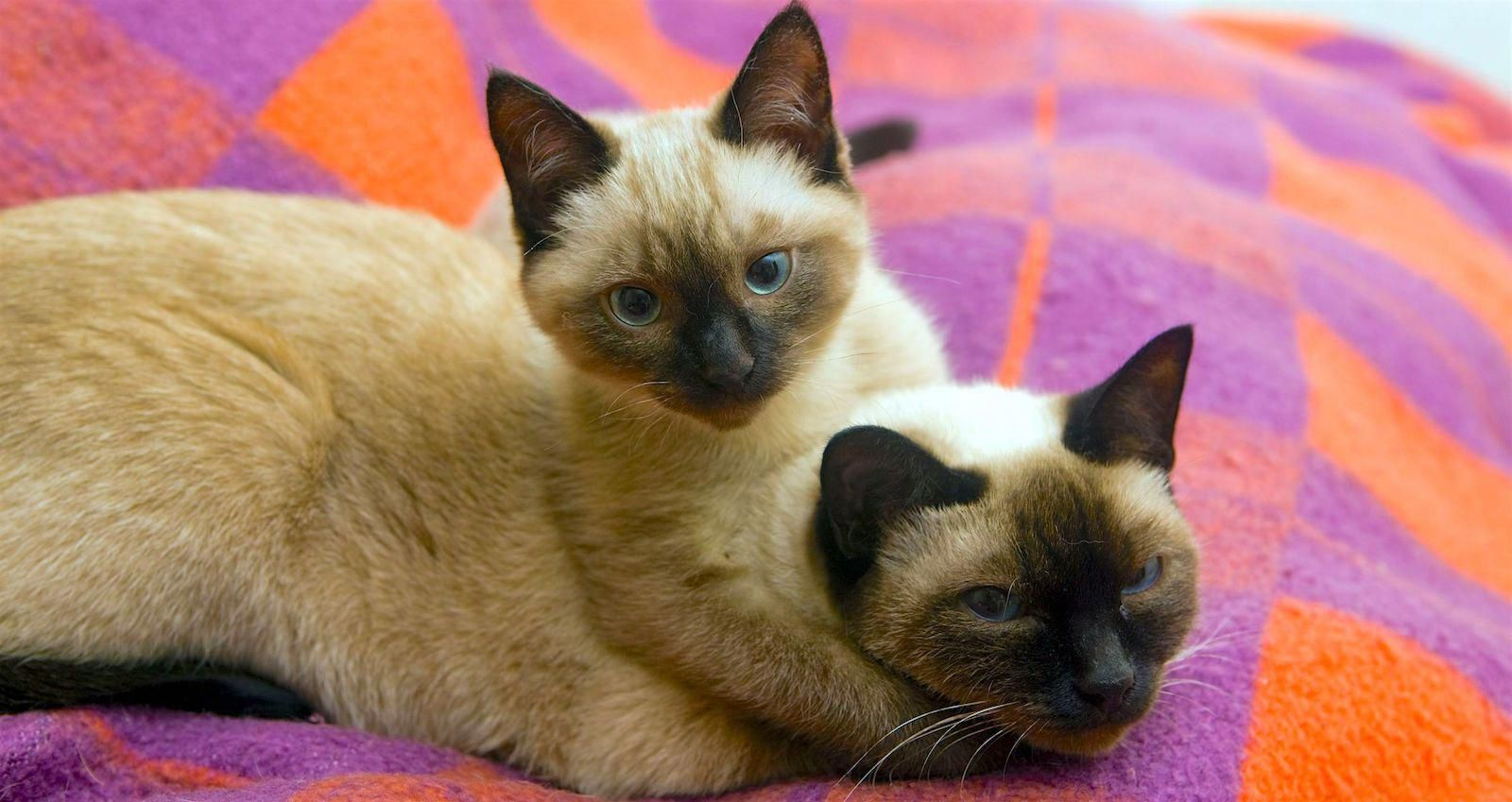 5 Things To Know About Siamese Cats Cat Breeds Siamese Cat Breeds Cat Care