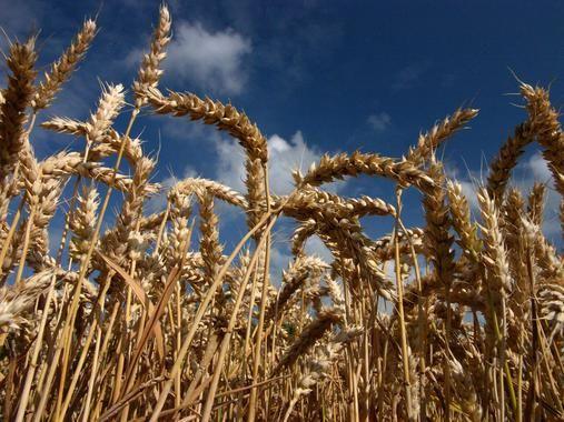 El primer boceto genético del trigo harinero sale del horno / Noticias / SINC