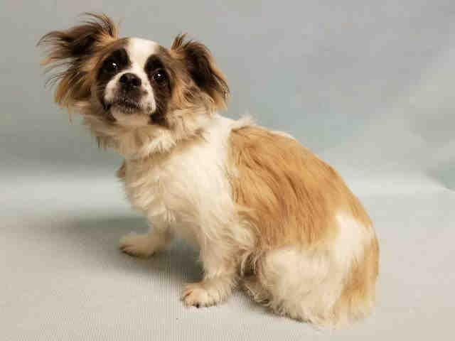 PIKAIA – A1075744  SPAYED FEMALE, WHITE / BROWN, CHIHUAHUA LH / SHIH TZU, 2 yrs OWNER SUR – EVALUATE, NO HOLD Reason OWN EVICT