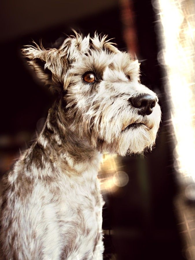 "500px / Photo ""Schnauzer"" by Hailey Hammon"