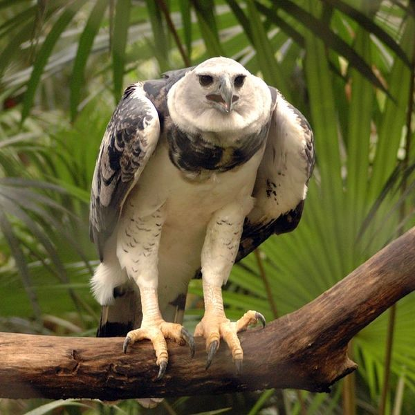 The Belize Zoo has taken a leading role in the reintroduction of the harpy eagle to Belizean forests. Description from en.wikipedia.org. I searched for this on bing.com/images