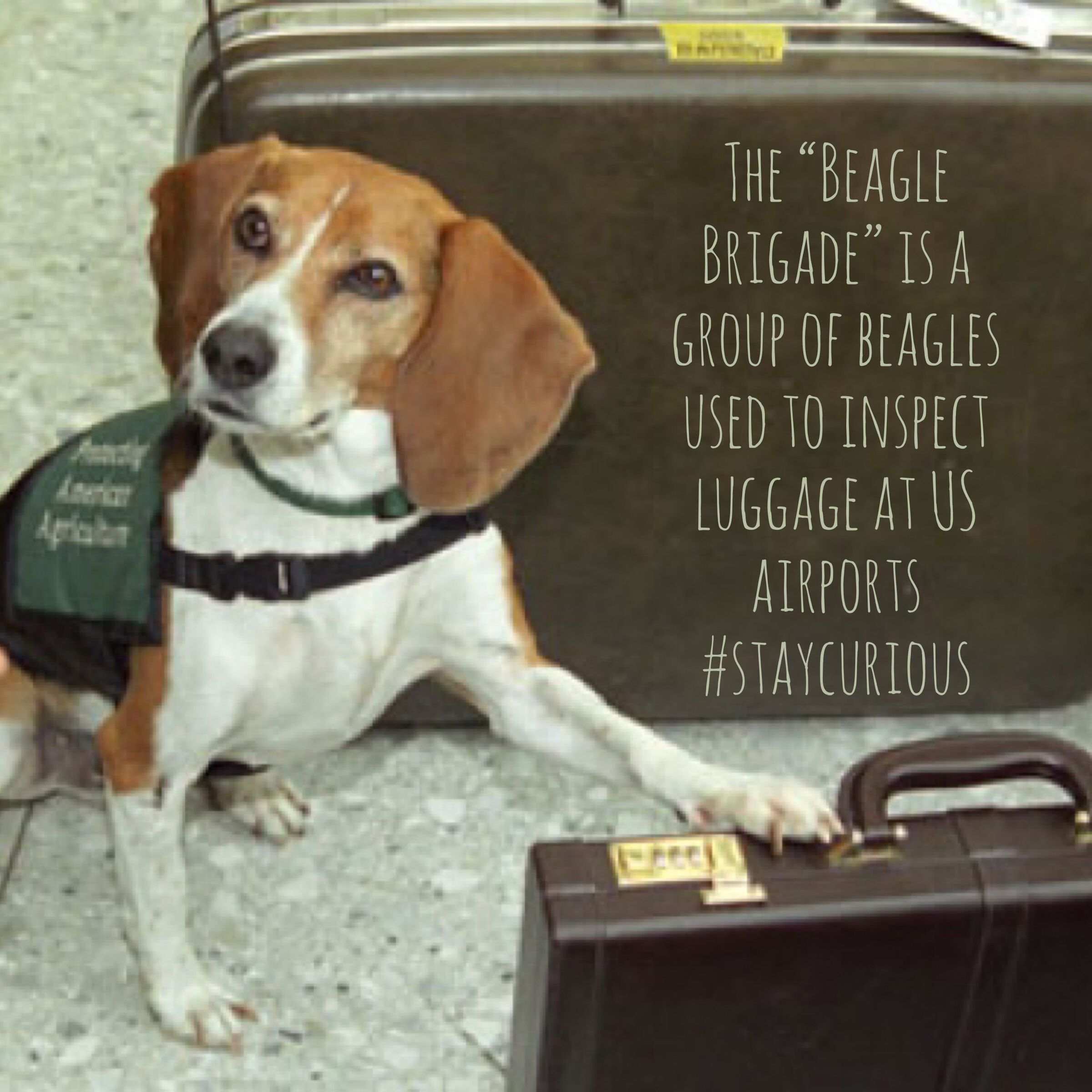 The Beagle Brigade Is A Group Of Beagles Used To Inspect Luggage