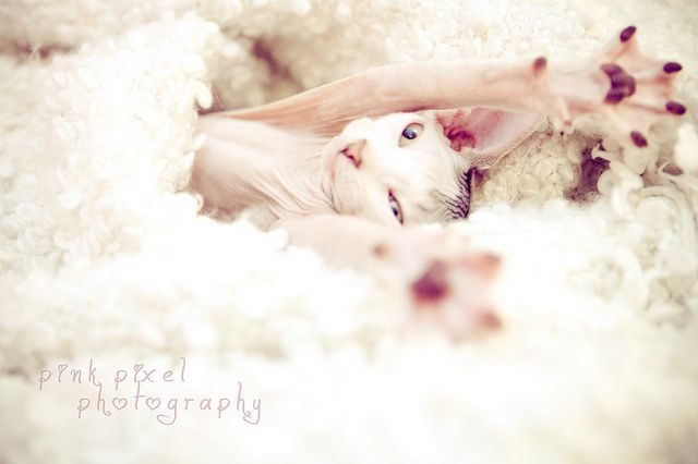i just love sphynx cats