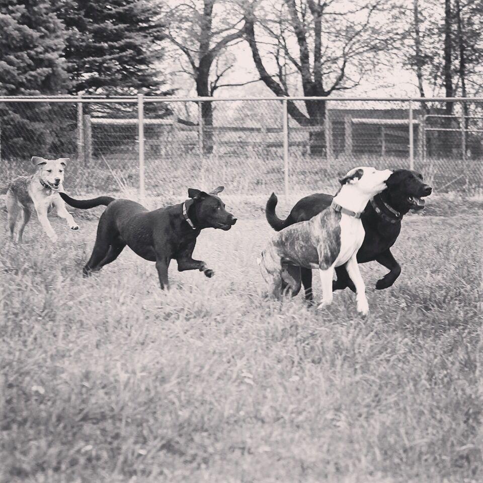 Fun & games at the farm all day long! #evasplaypupspa #endlessmountains #springtime #mountpleasant #blackdog #labsofinstagram
