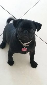 Black Pugs For Sale Image By Maddie Croft On Puppies Pugs Puppies