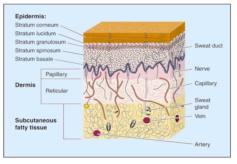Skin Anatomy 101 Skin Anatomy Skin Tissue Skin Structure