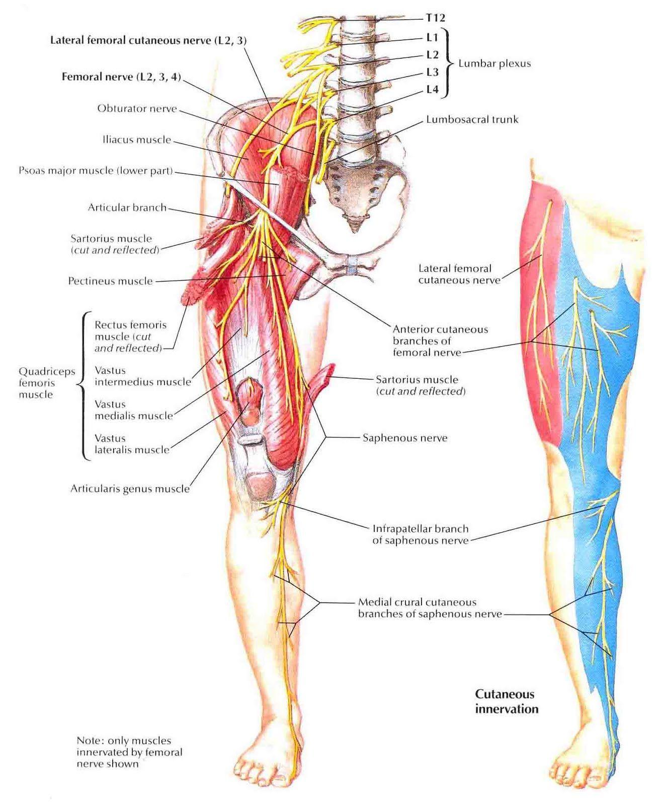 Legs Nerves Syndroms Make Me Feel Better Femoral Nerve Nerve
