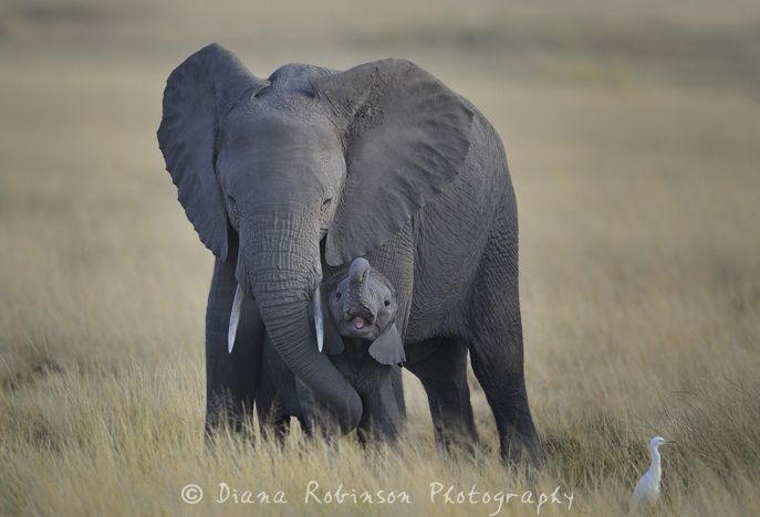 Mom And Baby Elephant Amboseli Kenya Elephant Images Baby Elephant Images Baby Elephant