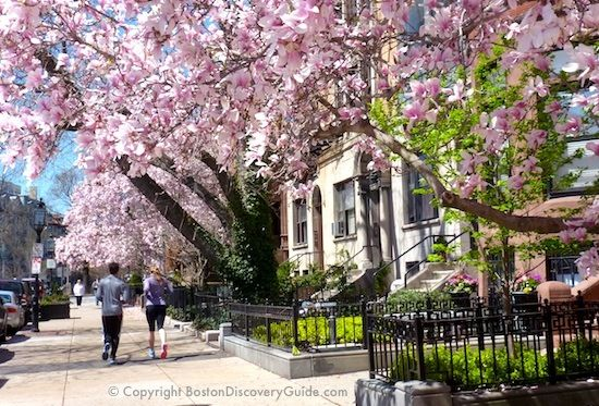 Magnolia Trees In Boston In The Spring Finding Hope In Savannah