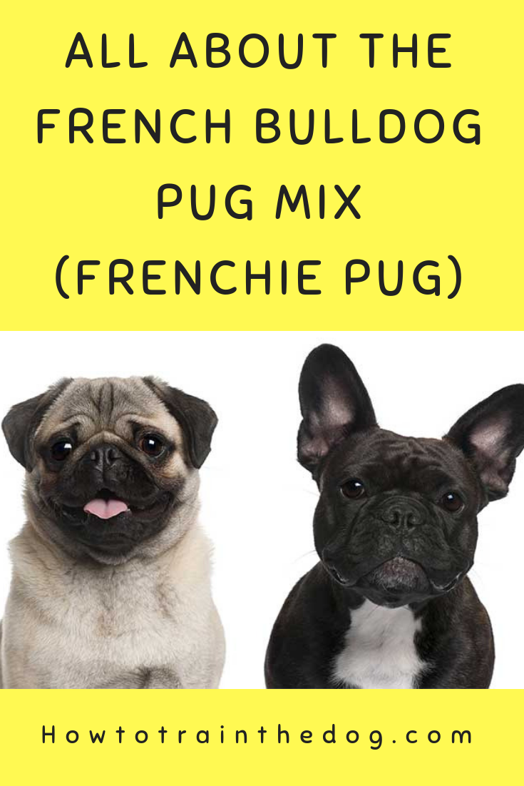 All About The French Bulldog Pug Mix Frenchie Pug Frenchiepug Frugdog Frenchbulldogpugmix French Bulldog Pug Mix Frenchie Pug Pug Mix