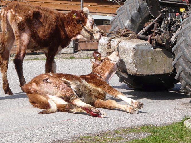MEAT AND MILK IS MURDER ! GO VEGAN !