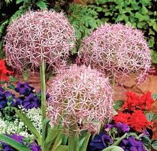 panicles mont flowers pinterest flowers allium chistophii persian onion bulbs from high country gardens mightylinksfo Image collections