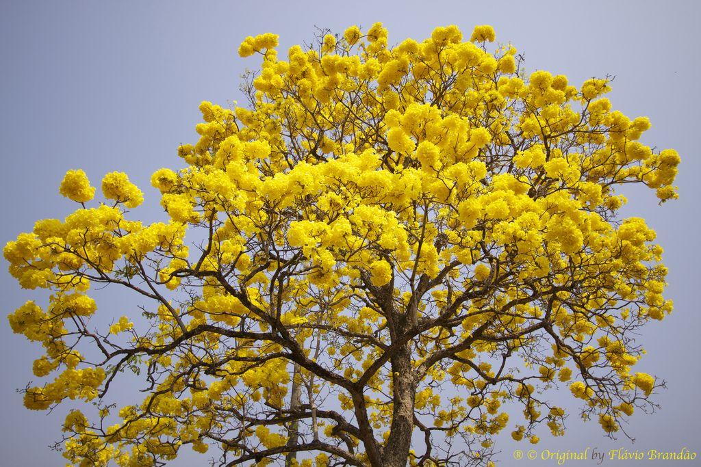 Resultado de imagem para ipê amarelo