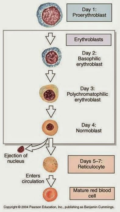 Erythrocyte Cell Maturation in Bone Marrow | Anatomy and Physiology ...