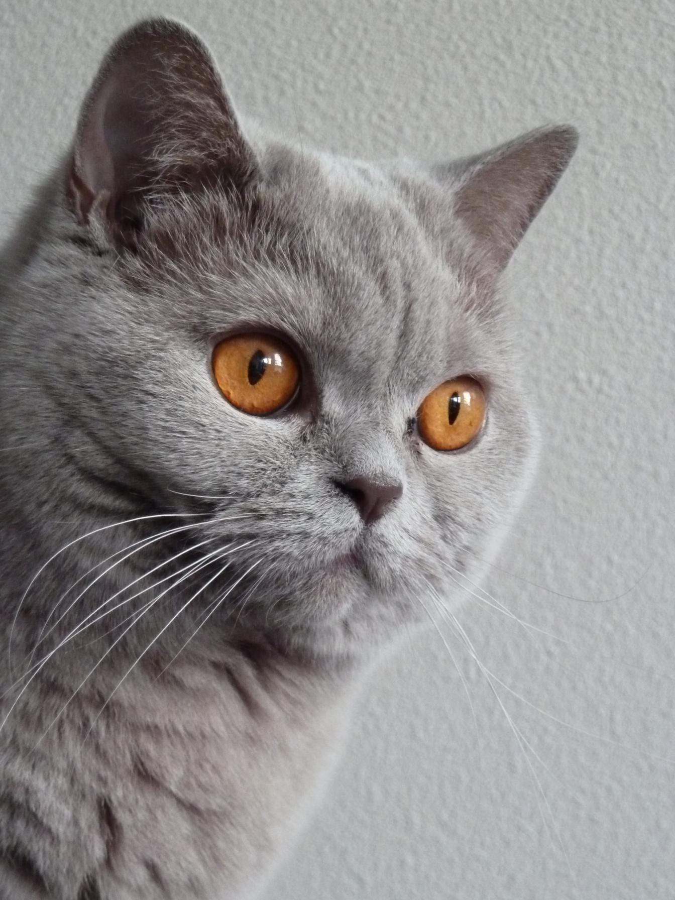 Cat Eyes British Shorthair British Shorthair Blue British