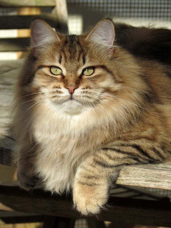 Siberian Cat Siberian Cats Siberian Kitten Siberian Kittens Siberian Kittens For Sale Hypoallergenic Kittens H Beautiful Cats Kitten Pictures Siberian Kittens