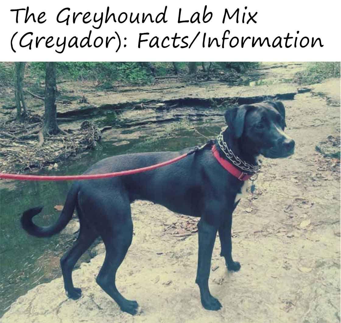 The Greyhound Lab Mix Greyador Facts Information Greyhound