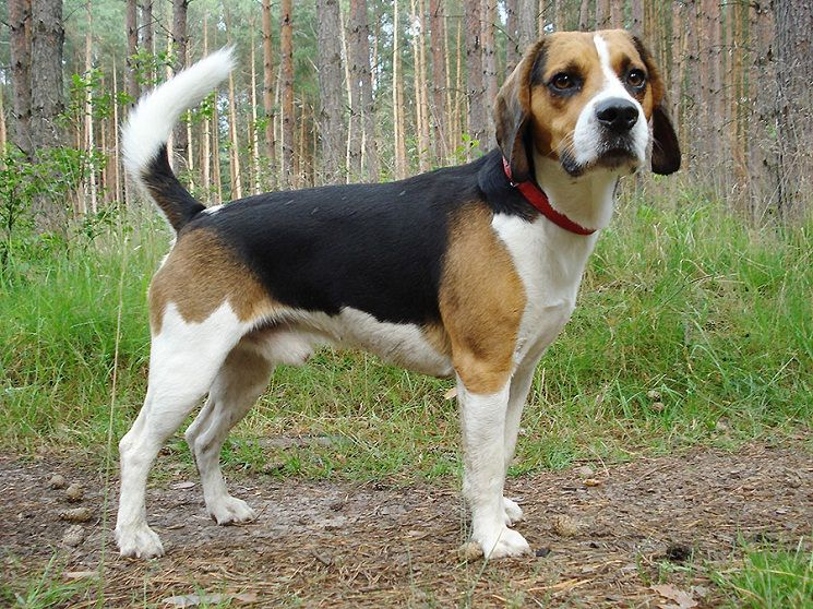Beagle Harrier Mix Dog Info Temperament Training Puppies