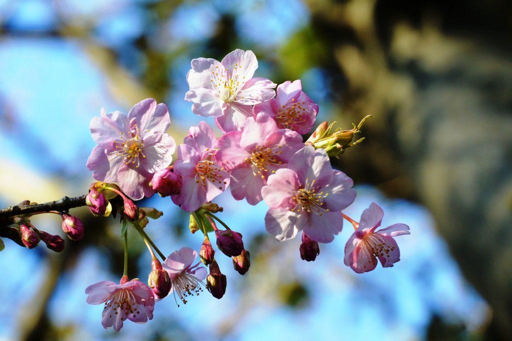 #Kawazu cherry blossoms, #beautiful, #pink, #spring, #cherry blossoms,