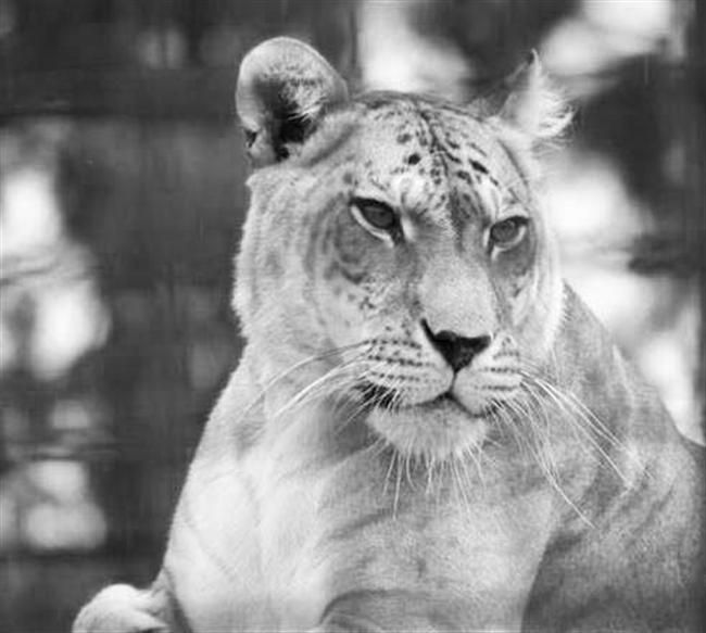Utah's Hogle Zoo Popularity because of Shasta the liger