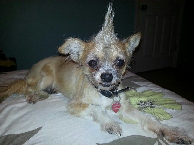 Fabio Long Hair Chihuahua With A Mohawk Fur Babies Chihuahua Long Haired Chihuahua