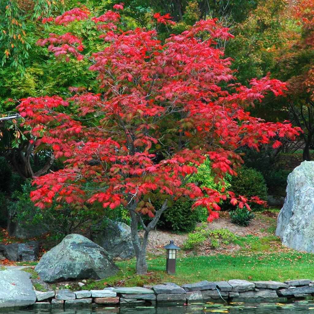 Acer Japonicum Aconitifolium Arce Japones Arboles Para Jardin