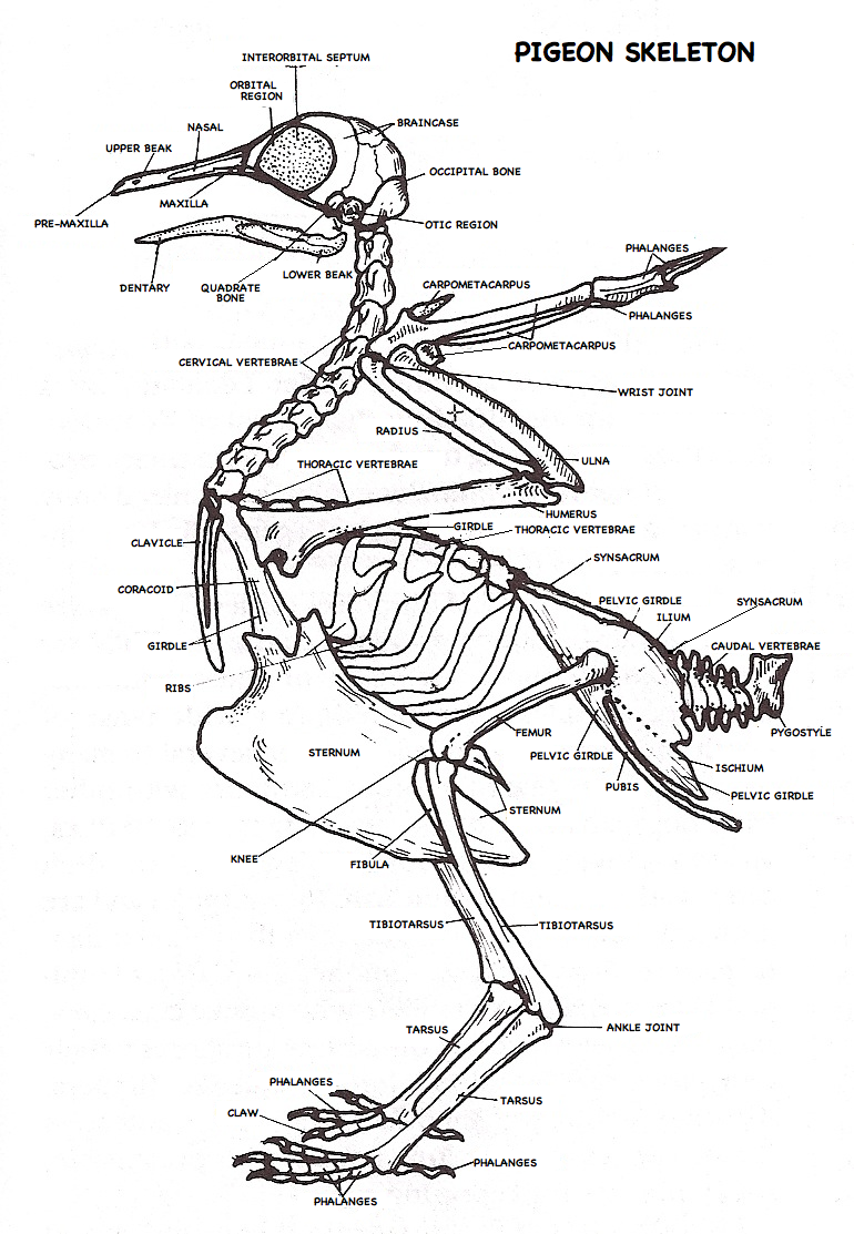 labeled Pigeon Skeleton diagram | pigeon ideas | Pinterest