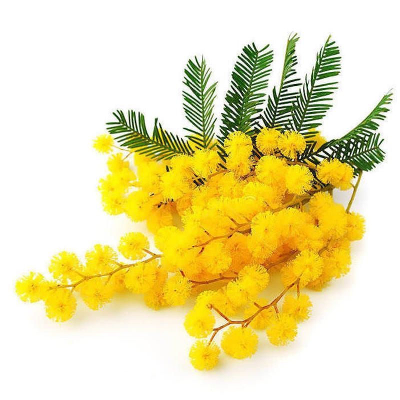 Mimosa Absolute Organic Mimosa Essential Oil In 2020 Mimosa Flower Mimosa Flowers