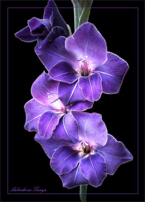 Purple Gladiolus Purple Flowers Wallpaper Violet Flower Tattoos