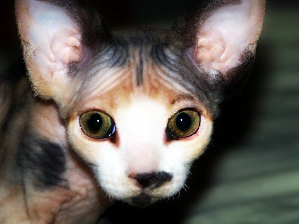 calico devon rex i suppose, don't seems a sphinx to me. Uh, bo. Sure she is adorable!