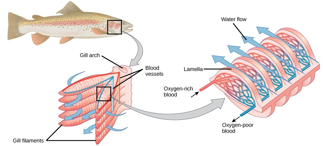 Fish Gills Google Search Biology Systems Biology Human Respiratory System